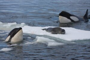 Orca's hunting seal